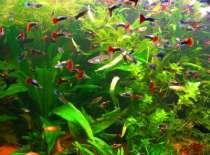Гуппи - красивые мирные рыбки, в Челябинске