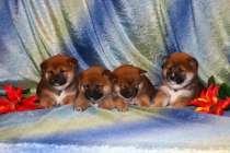 Шиба Ину (маленькая Акита) щенки.., в Архангельске