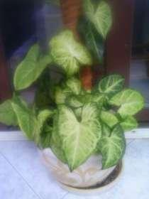 Комнатное растение - сингониум, в Хабаровске