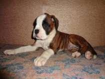 Боксер немецкий, щенки с родословной, в Владивостоке