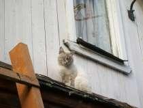 Породистый кот в добрые руки, в Нижнем Новгороде