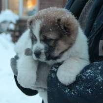 Продам щенков Среднеазиатская овчарка, в Красноярске