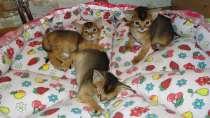 Абиссинские котята от титулованных производителей, в Калуге