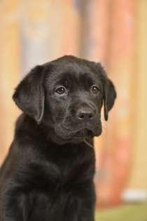 Продам щенков лабрадора черного окраса, в г.Харьков