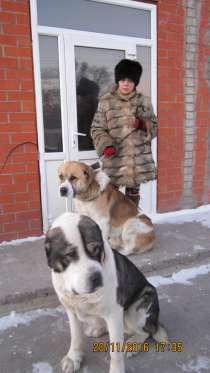 Предлагаю 2 кобелей алабаев для вязки, в г.Темиртау