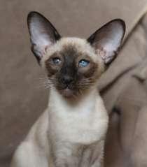 Сиамские кошки, в Екатеринбурге