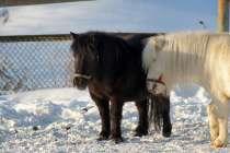 Пони и лошади на заказ, в Екатеринбурге