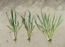 Семена озимой пшеницы, ячменя и протравители, в г.Кировоград
