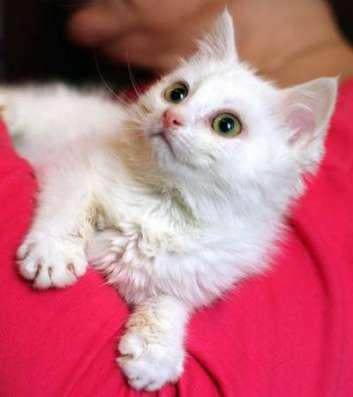 Белоснежный котенок ищет заботливую семью.