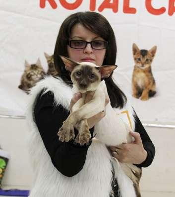 Ориентальные котята, белого, черного и пятнистого окраса в г. Самара Фото 1