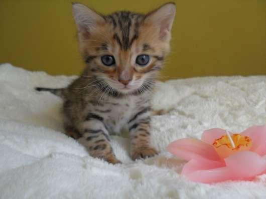 Бенгальский котёнок в Казани Фото 2