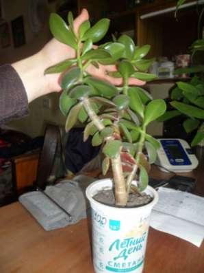 Комнатный цветок - живое дерево