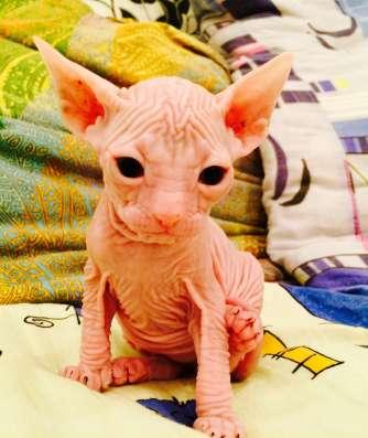 Котята донских сфинксов