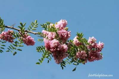 Саженцы розовой акации