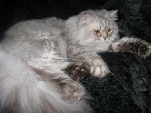 Британский длинношерстный кот хайленд в г. Кобрин Фото 2