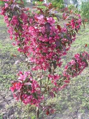 Саженцы райской яблони сортовые в г. Минск Фото 5