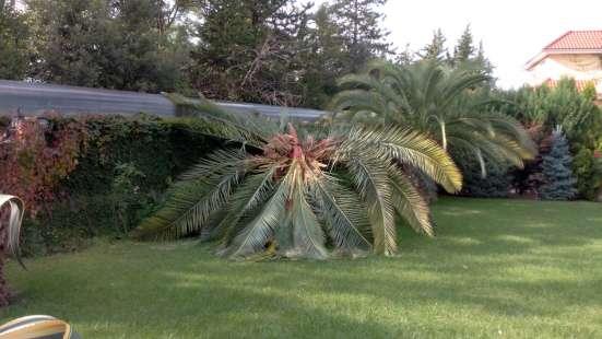 Ваши пальмы без Долгоносиков и Мотылька