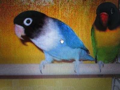 попугаи в Обнинске Фото 3