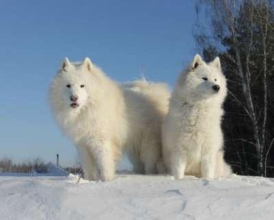 Щенков самоедской собаки
