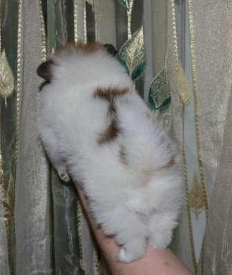 Шпицы померанцы редкого окраса тип мишка в Москве Фото 2