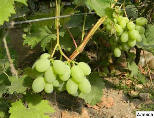 Отличные саженцы холодостойкого винограда