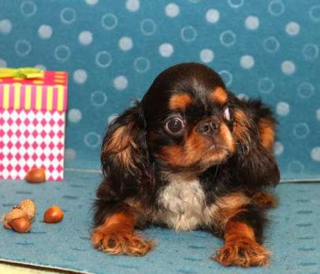 Продается щенок Кинг Чарльз Спаниеля, черно-подпалого окраса, мальчик в Москве Фото 2