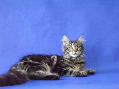 Котята мейн-кун из питомника в Курске Фото 4