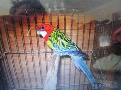 попугаи в Обнинске Фото 4