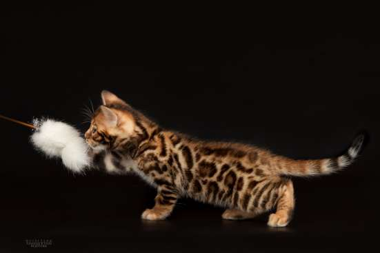 Питомник бенгальских котят в Челябинске Фото 4