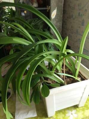 Домашняя лилия в Ижевске Фото 1