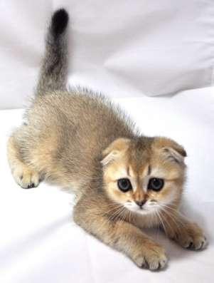Клубные шотландские котята