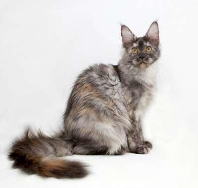 Кошечка Мейн кун!