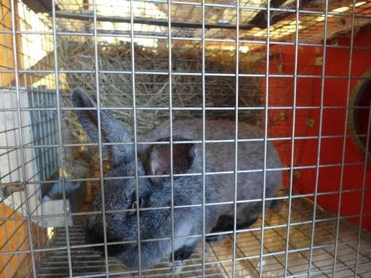 Кролики. Серебро. Продажа