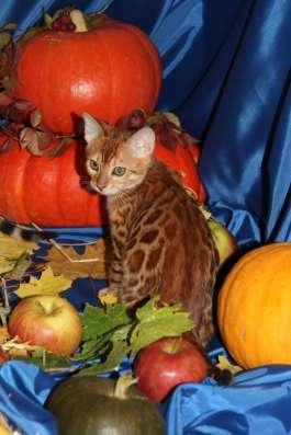 Огненно красный бенгальский котик