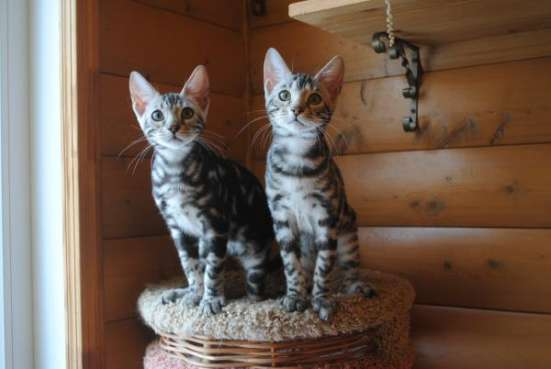 Продаются Бенгальские котята, окрас золото и серебро