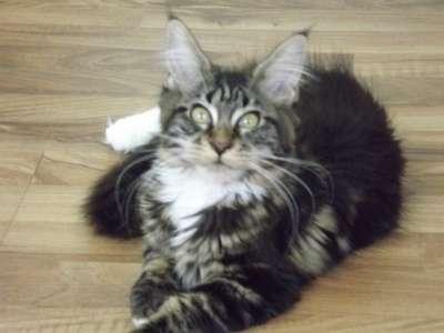 Котята мейн-кун от титулованных родителе