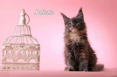 Мейн кун котята от большого международно в Волгограде Фото 2