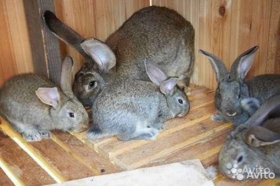 Продаю крольчат и кроликов крупных мясных пород