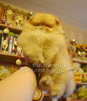 Продаются щенки шпица в медвежьем типе светлого окраса в Москве Фото 6