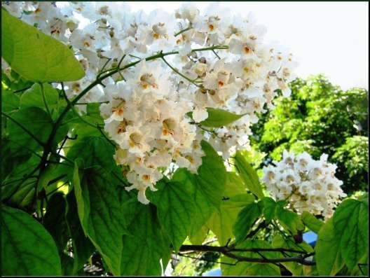 Катальпа - дерево потрясающей красоты. Саженцы в Воронеже Фото 2
