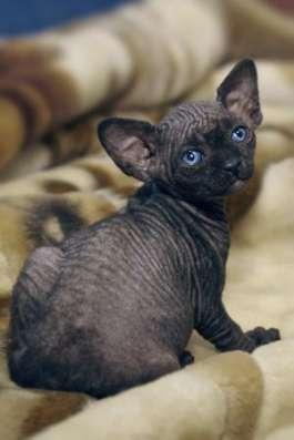 Котята канадского сфинкса из питомника ANIMALS of Prophecy