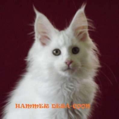 Котята мейн-кун из питомника в Курске Фото 1