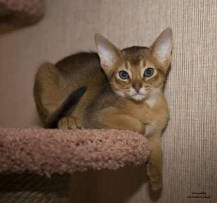 Очаровательные абиссинские котята