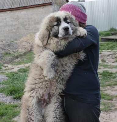 Продаются подрощенные щенки кавказской овчарки в г. Васильков Фото 3