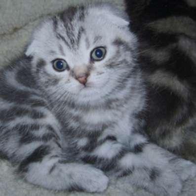 Британские котята, шотландцы яркие мраморные,4 окраса тебби в Москве Фото 1