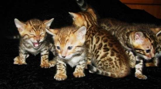 Бенгальские котята Питомник бенгальских кошек sunnybunny в г. Кобрин Фото 5