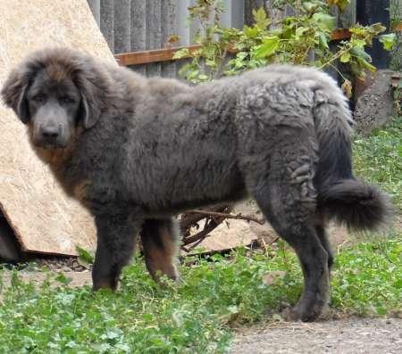 Подрощенные щенки тибетского мастифа