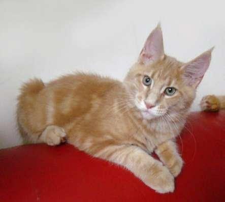 Котята мейн кун в продаже мэйн кун в Томилино Фото 4