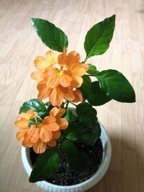 Цветы горшечные: глоксиния, бегони, калерия, алоэ, фикус итд