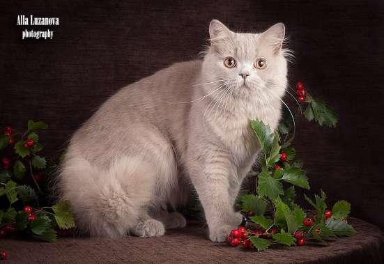 Продается! Британский длинношерстный котик в Санкт-Петербурге Фото 3